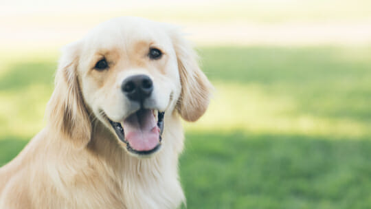 Golden Retriever dog looking happy