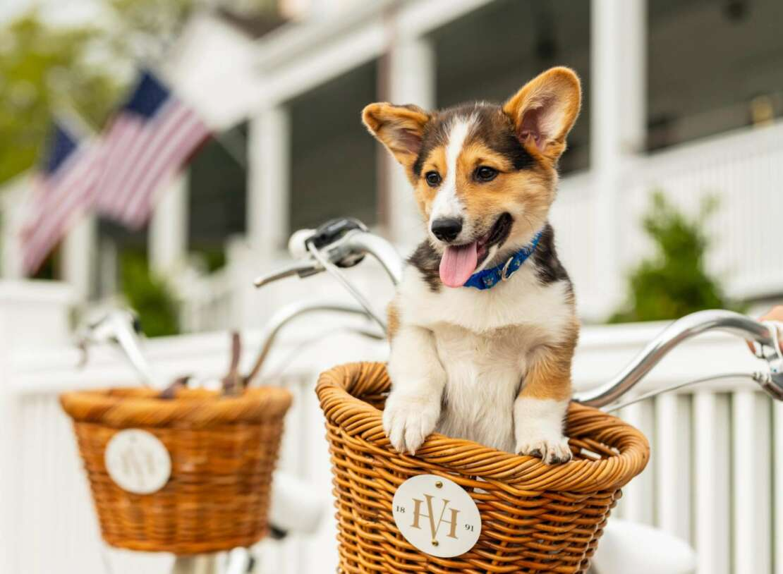 Corgi puppy in a Harbor View bicycle basket